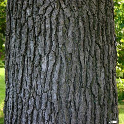 Liquidambar styraciflua (sweet-gum), trunk, bark