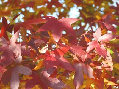 Liquidambar styraciflua (sweet-gum), leaves, fall color