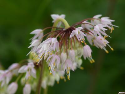 Allium cernuum Roth. (nodding wild onion), flowers, stamens