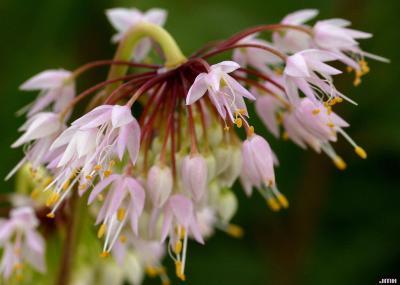 Allium cernuum Roth. (nodding wild onion), flowers, petals, stamens