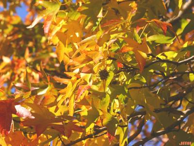 Liquidambar styraciflua (sweet-gum), leaves, branches, fruit