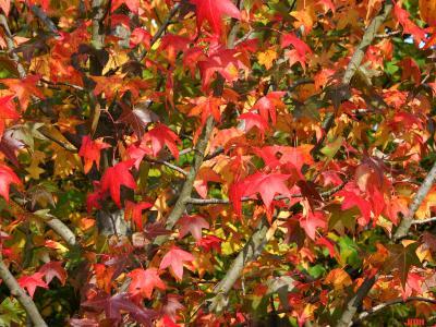 Liquidambar styraciflua 'Moraine' (Moraine sweet-gum), leaves, branches, fall color