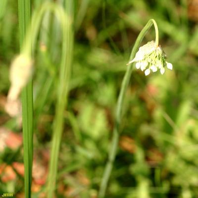 Allium cernuum Roth. (nodding wild onion), flower, stem