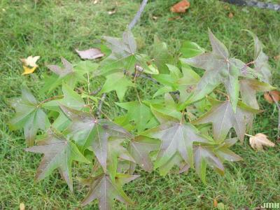 Liquidambar styraciflua (sweet-gum), branch with leaves