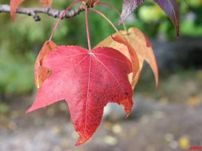 Liquidambar styraciflua 'Moraine' (Moraine sweet-gum), leaves, fall color