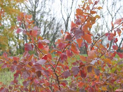 Rhus aromatica Ait. (fragrant sumac), branches, leaves