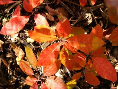 Cotinus obovatus Raf. (American smoke tree), leaves