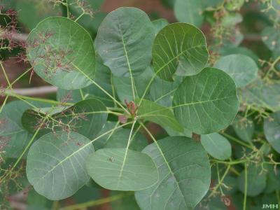 Cotinus coggygria 'Nordine' (Nordine Eurasian smoke tree), leaves