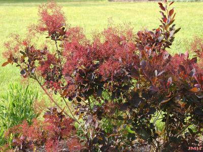Cotinus coggygria 'Royal Purple' (Royal Purple Eurasian smoke tree), branches, leaves, flowers