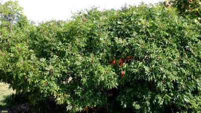 Rhus copallina var. latifolia 'Morton' (shining sumac – PRAIRIE FLAME™), hedge of shining sumac
