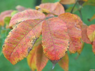 Rhus chinensis Mill. (Chinese sumac), fall color, leaflets