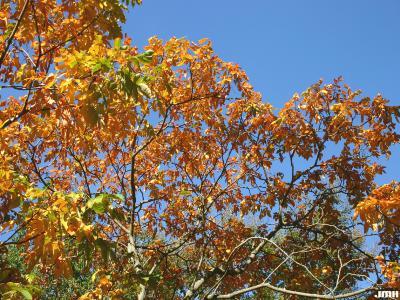 Rhus chinensis Mill. (Chinese sumac), branches