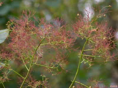 Cotinus coggygria 'Nordine' (Nordine Eurasian smoke tree), flowers, inflorescence