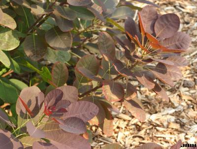 Cotinus coggygria 'Royal Purple' (Royal Purple Eurasian smoke tree),  branch, leaves