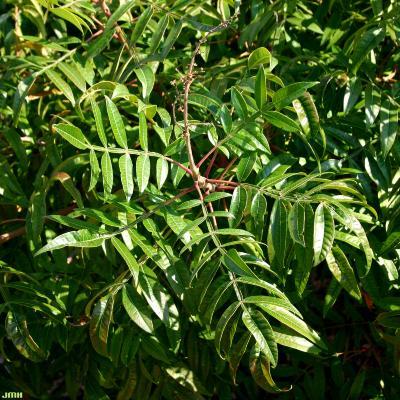 Rhus copallina var. latifolia 'Morton' (shining sumac – PRAIRIE FLAME™), pinnately compound leaves  with winged rachises