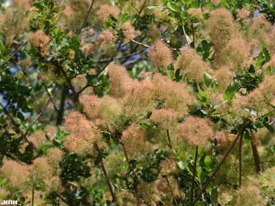 Cotinus coggygria Scop. (Eurasian smoke tree), flowers