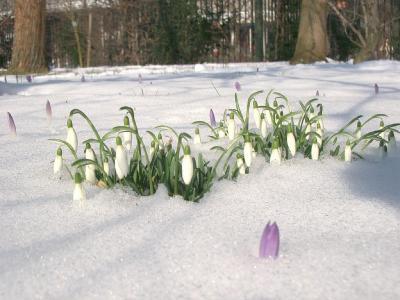 Galanthus nivalis L. (snowdrop), habit, winter