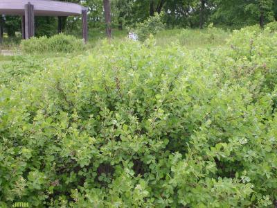 Rhus aromatica 'Gro-low' (Gro-low fragrant sumac), habit, leaves