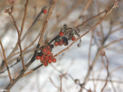 Rhus aromatica Ait. (fragrant sumac),  fruits in winter