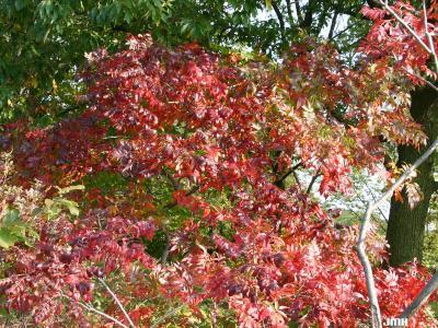 Rhus copallina var. latifolia Engler (shining sumac), fall color