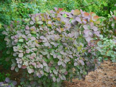 Cotinus coggygria 'Royal Purple' (Royal Purple Eurasian smoke tree), leaves, habit
