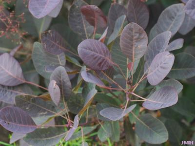 Cotinus coggygria 'Royal Purple' (Royal Purple Eurasian smoke tree), leaves
