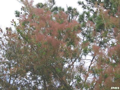 Cotinus coggygria 'Nordine' (Nordine Eurasian smoke tree), branch in bloom, flowers