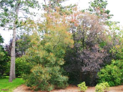 Cotinus coggygria 'Nordine' (Nordine Eurasian smoke tree), habit