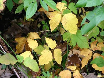 Toxicodendron radicans (poison ivy), leaves