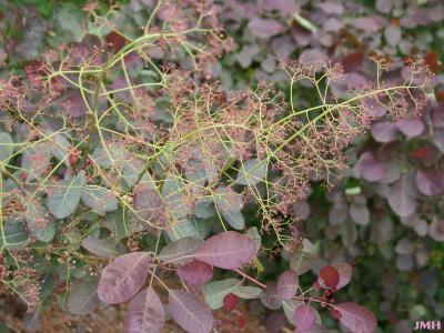 Cotinus coggygria 'Royal Purple' (Royal Purple Eurasian smoke tree),  flowering stalks, leaves