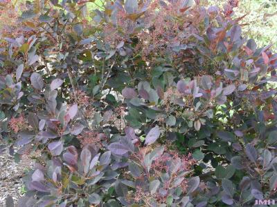 Cotinus coggygria 'Royal Purple' (Royal Purple Eurasian smoke tree), branches, leaves