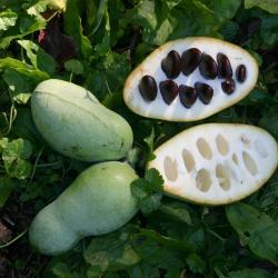 Asimina triloba (L.) Dunal (pawpaw), fruits, seeds