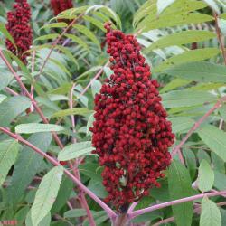 Rhus glabra L. (smooth sumac), close-up of fruit, panicle of drupes