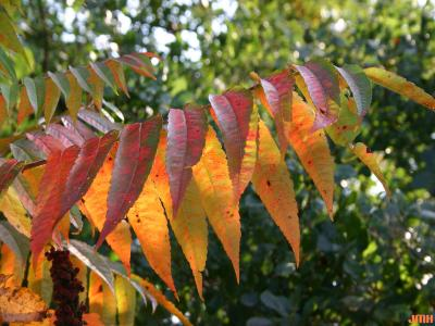 Rhus typhina L. (staghorn sumac), leaves, fall color