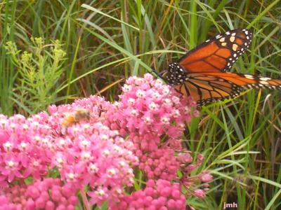 Asclepias incarnata L. (swamp milkweed), flowers with monarch butterfly