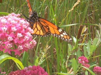 Asclepias incarnata L. (swamp milkweed), flowers in umbels with a monarch butterfly sipping on nectar