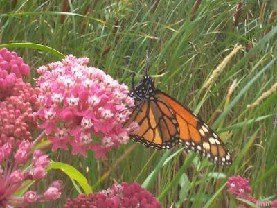 Asclepias incarnata L. (swamp milkweed), flowers in umbels, monarch butterfly sipping on nectar