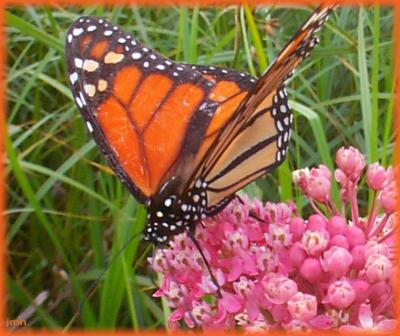 Asclepias incarnata L. (swamp milkweed), flowers with a monarch butterfly sipping on nectar