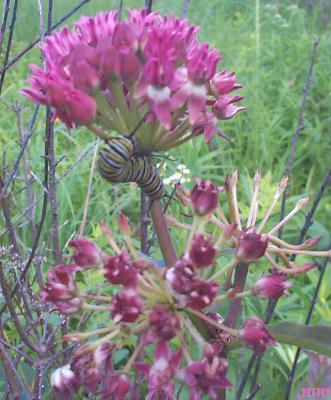 Asclepias purpurascens L. (purple milkweed), inflorescences in umbels with a monarch caterpillar feeding on flowers