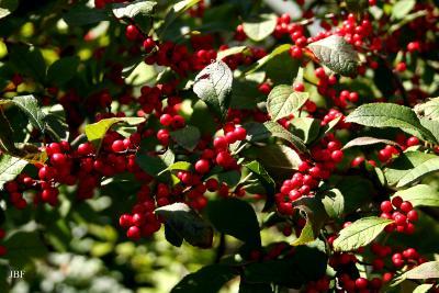 Ilex 'Sparkleberry' (winterberry), fruit