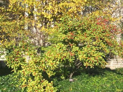 Ilex 'Sparkleberry' (winterberry), habit
