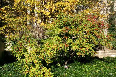 Ilex 'Sparkleberry' (winterberry), form and habit