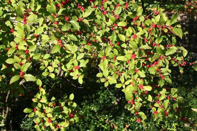 Ilex 'Sparkleberry' (winterberry), branches