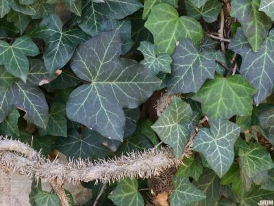 Hedera helix L. (ivy), leaves