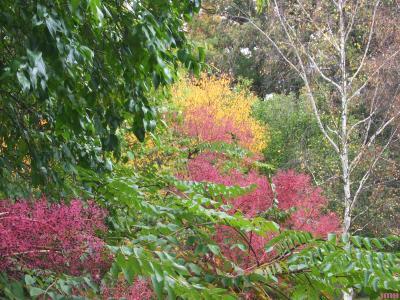 Aralia elata (Japanese angelica tree), branches, leaves