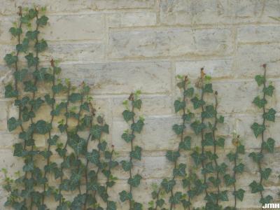 Hedera helix L. (ivy), form