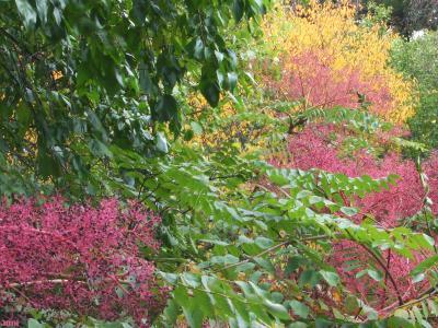 Aralia elata (Miq.) Seem. (Japanese angelica tree), branches, leaves