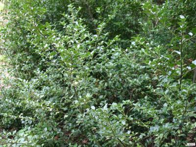 Ilex ×meserveae 'Blue Girl' (Blue Girl Meserve holly), branches