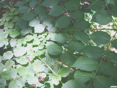 Aralia spinosa L. (devil's walking stick), leaves