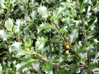 Ilex ×meserveae 'Blue Angel' (Blue Angel Meserve holly), leaves, fruit